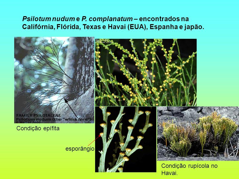 Psilotum nudum e P. complanatum – encontrados na Califórnia, Flórida, Texas e Havai (EUA), Espanha e japão.