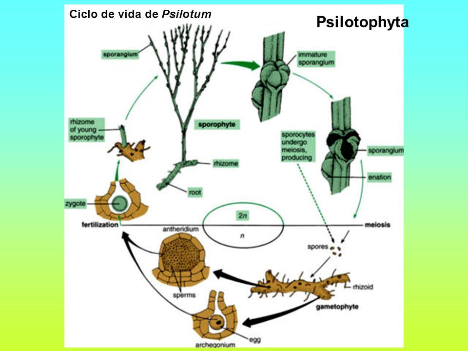 Ciclo de vida de Psilotum