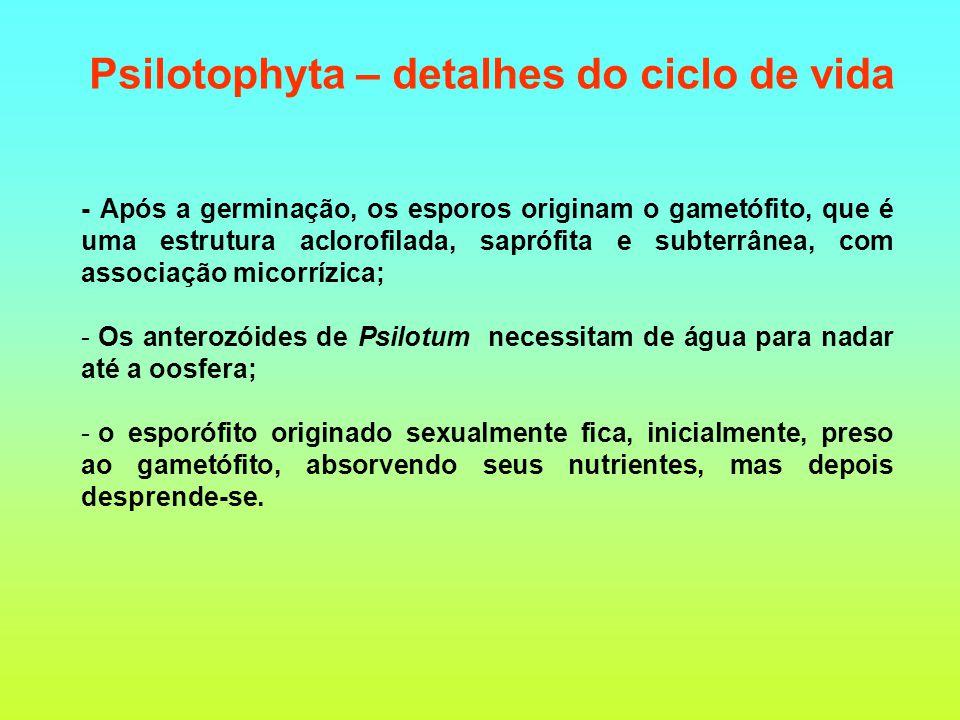 Psilotophyta – detalhes do ciclo de vida