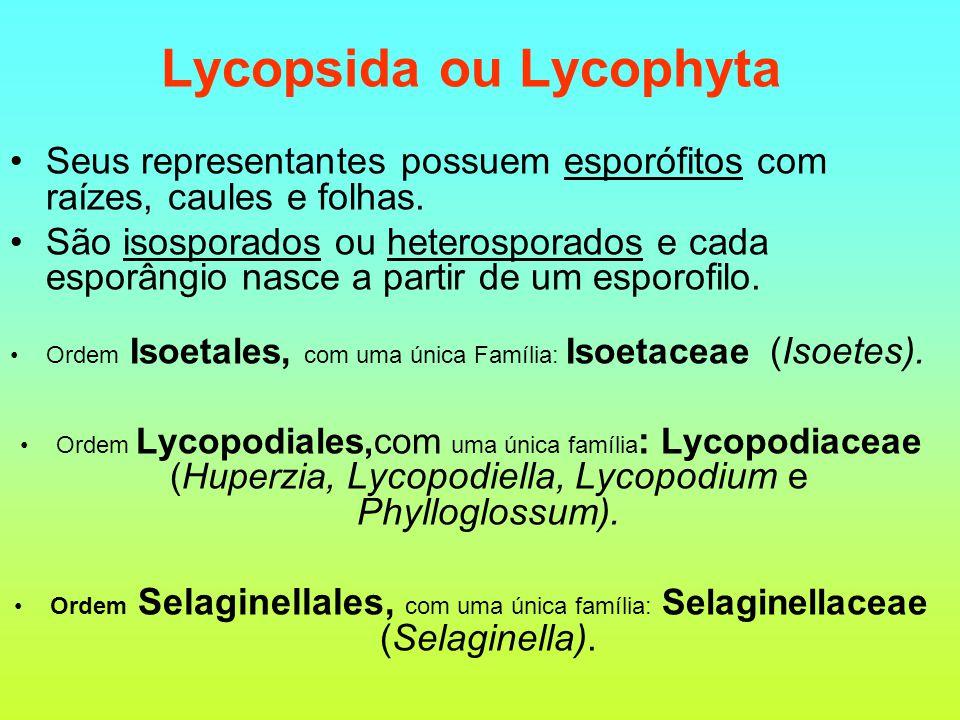 Lycopsida ou Lycophyta