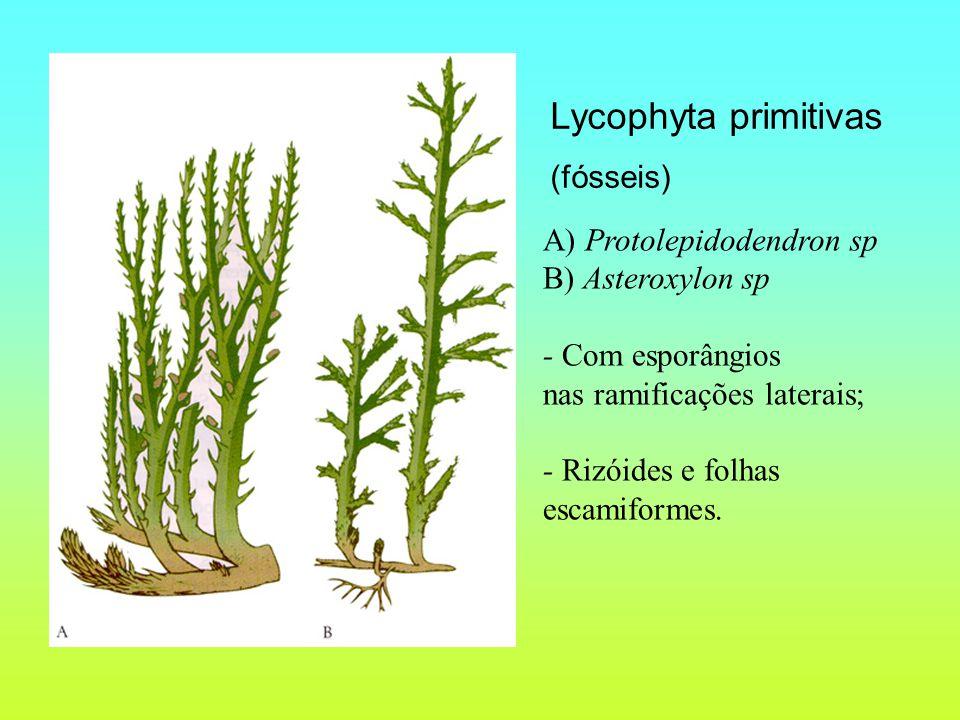Lycophyta primitivas (fósseis) A) Protolepidodendron sp