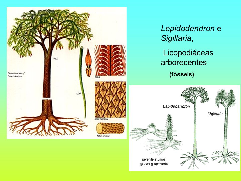 Lepidodendron e Sigillaria, Licopodiáceas arborecentes