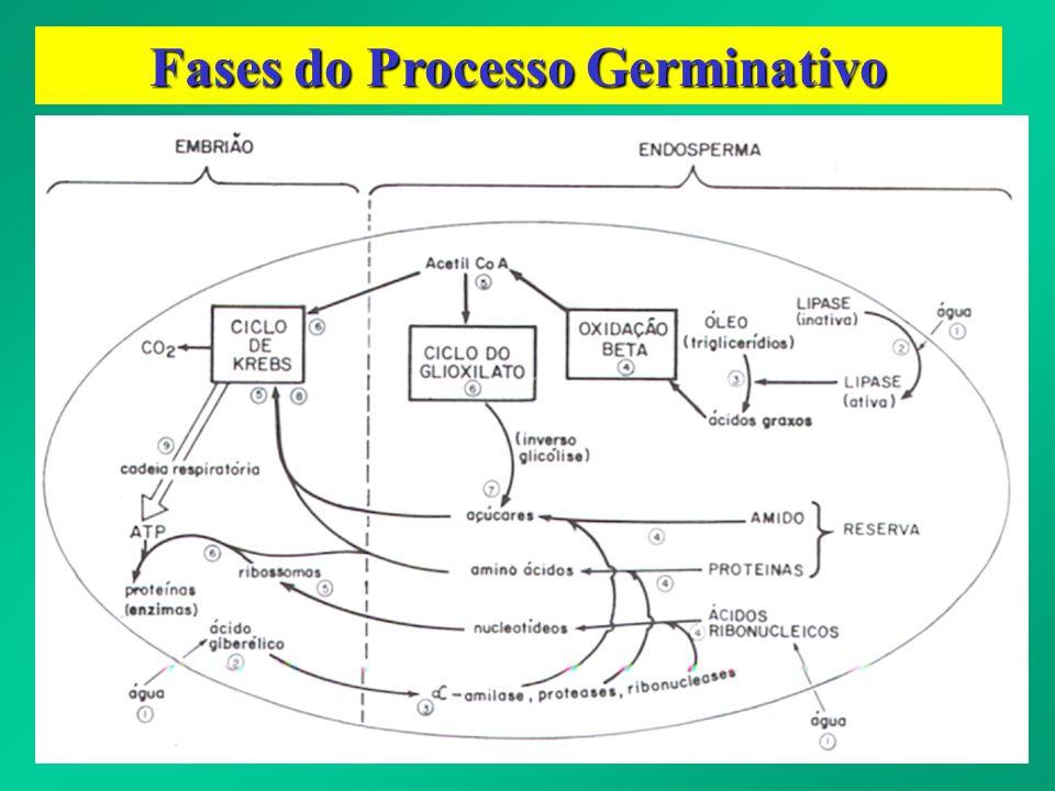 Fases do Processo Germinativo