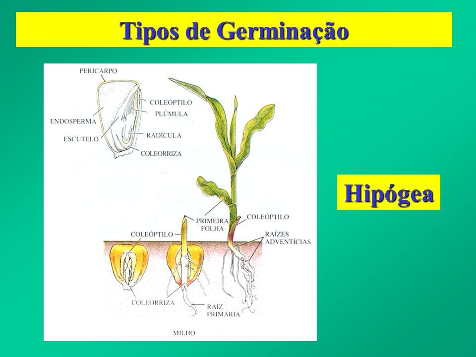 Tipos de Germinação Hipógea