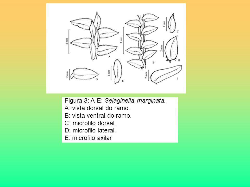 Figura 3: A-E: Selaginella marginata.