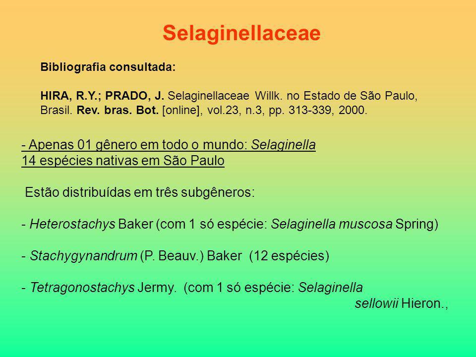 Selaginellaceae - Apenas 01 gênero em todo o mundo: Selaginella