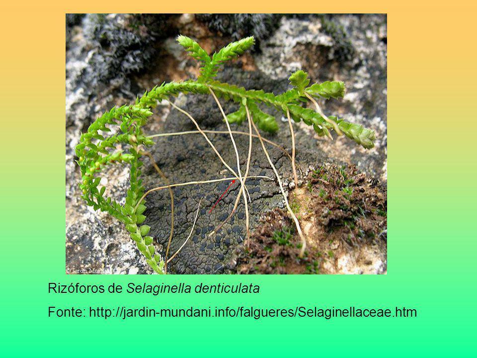 Rizóforos de Selaginella denticulata