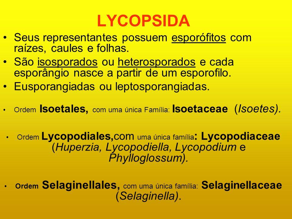 LYCOPSIDA Seus representantes possuem esporófitos com raízes, caules e folhas.