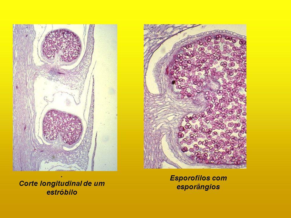 Esporofilos com esporângios Corte longitudinal de um estróbilo
