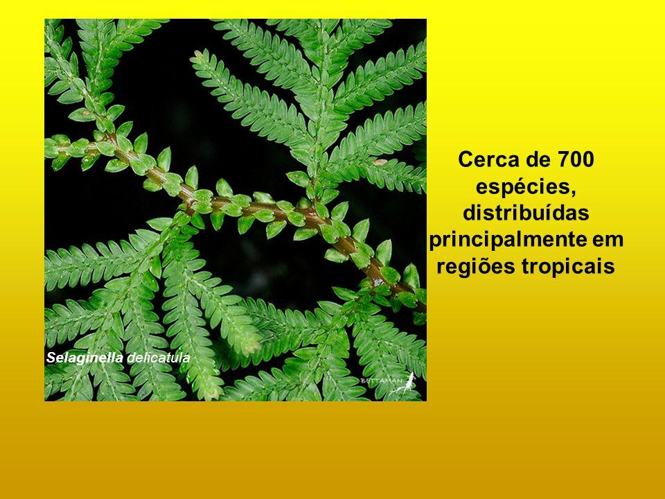 Cerca de 700 espécies, distribuídas principalmente em regiões tropicais