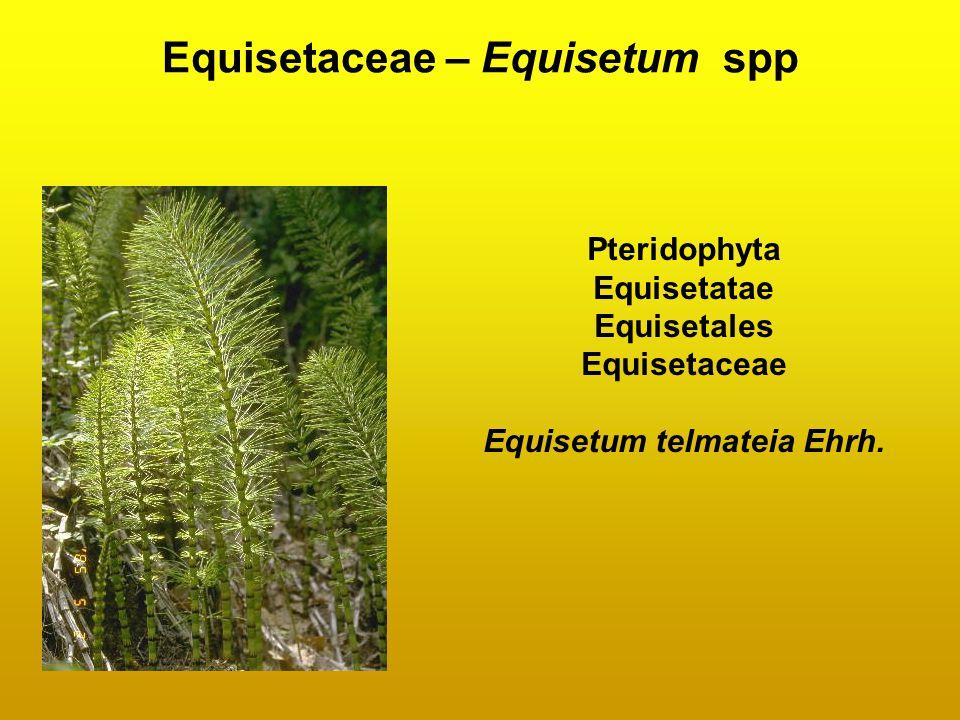 Equisetaceae – Equisetum spp