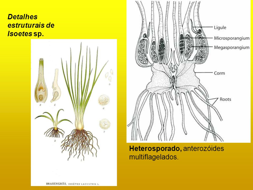 Detalhes estruturais de Isoetes sp.