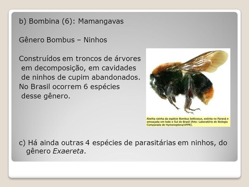 b) Bombina (6): Mamangavas Gênero Bombus – Ninhos Construídos em troncos de árvores em decomposição, em cavidades de ninhos de cupim abandonados.