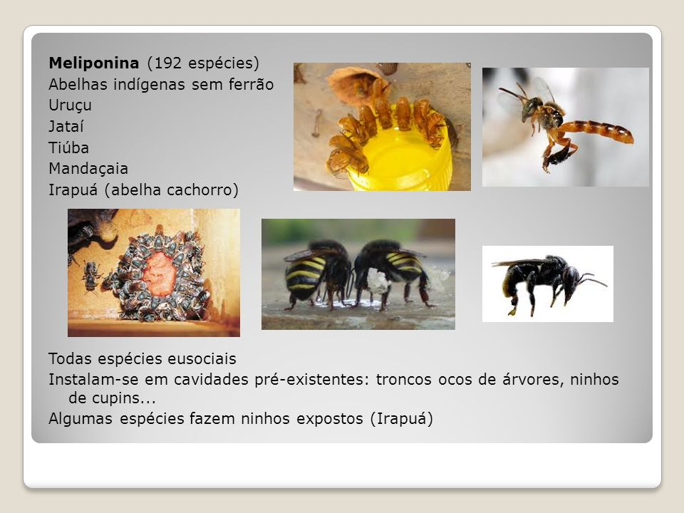 Meliponina (192 espécies) Abelhas indígenas sem ferrão Uruçu Jataí Tiúba Mandaçaia Irapuá (abelha cachorro) Todas espécies eusociais Instalam-se em cavidades pré-existentes: troncos ocos de árvores, ninhos de cupins...