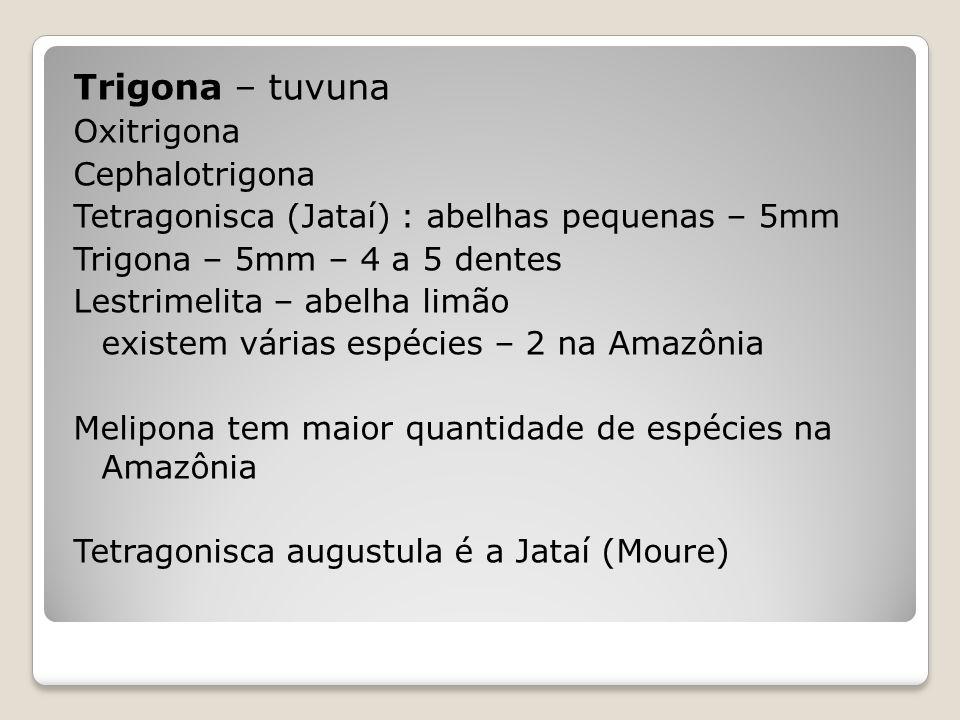 Trigona – tuvuna Oxitrigona Cephalotrigona