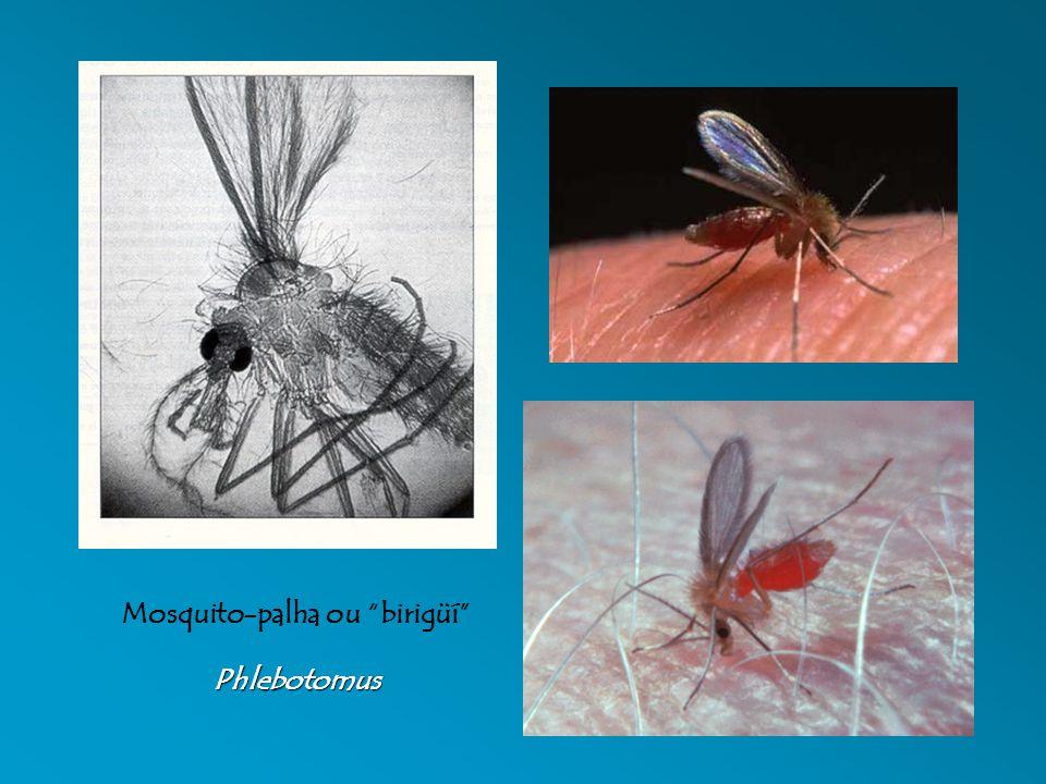 Mosquito-palha ou birigüí