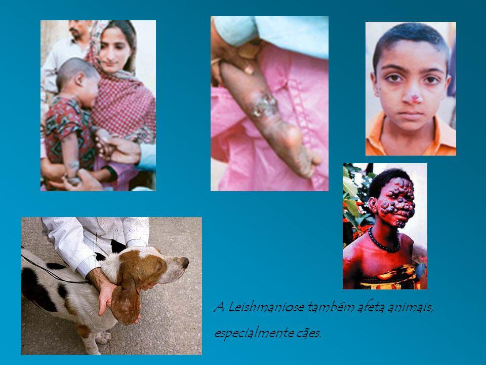 A Leishmaniose também afeta animais, especialmente cães.