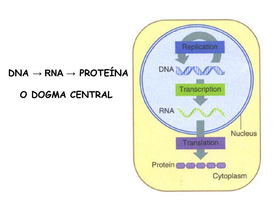 DNA → RNA → PROTEÍNA O DOGMA CENTRAL