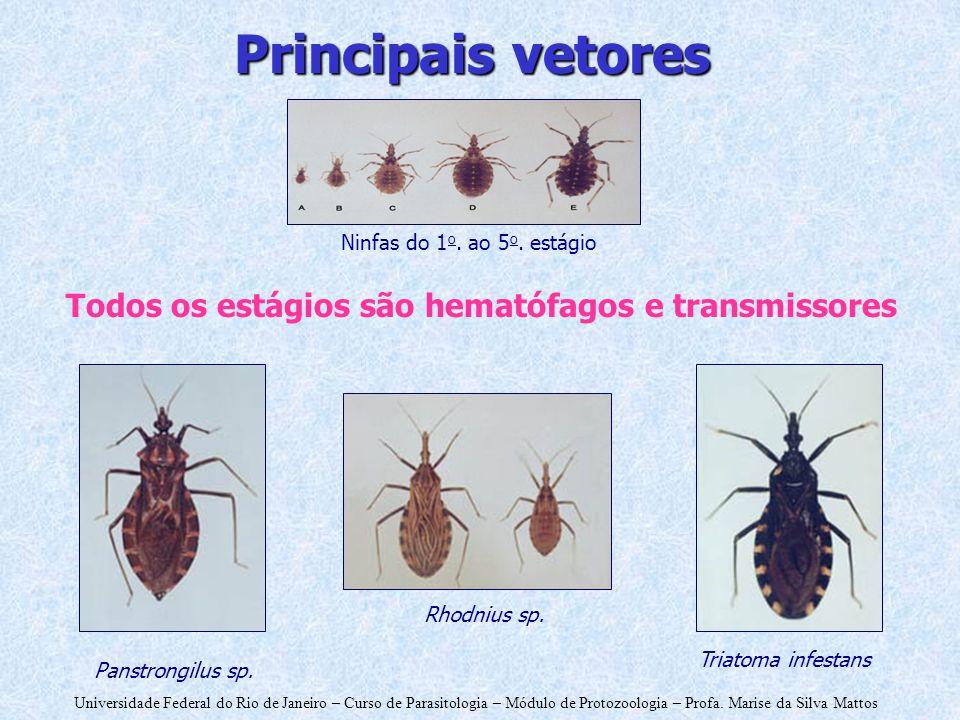 Principais vetores Todos os estágios são hematófagos e transmissores