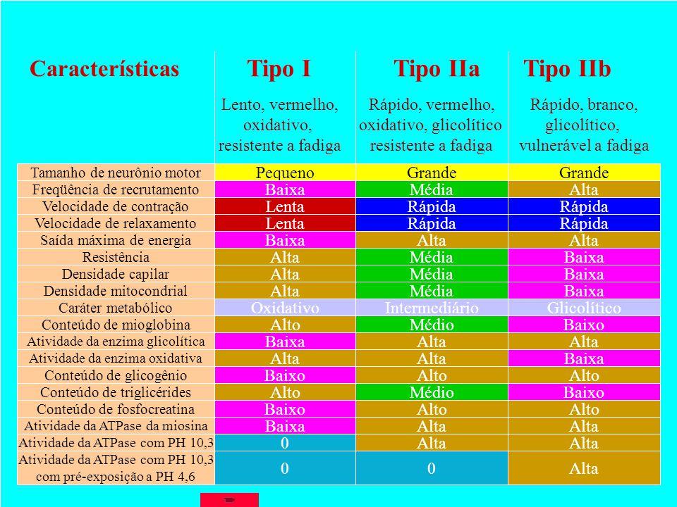 Tipo I Tipo IIa Tipo IIb Características Lento, vermelho, oxidativo,