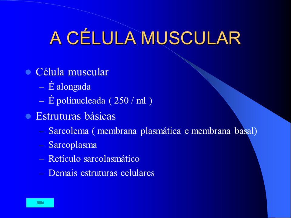A CÉLULA MUSCULAR Célula muscular Estruturas básicas É alongada
