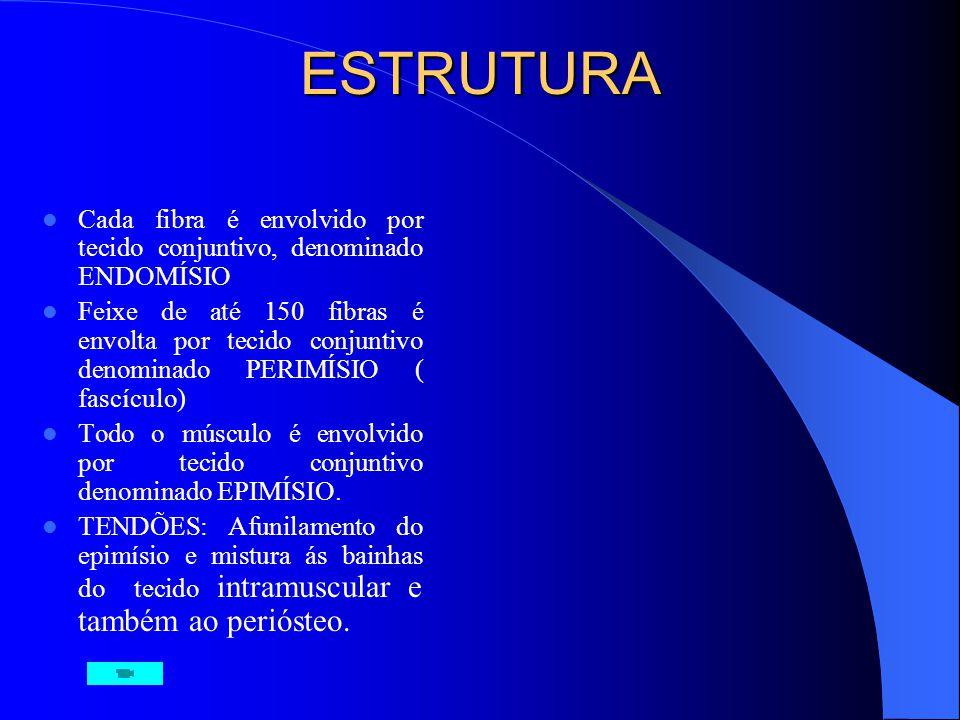ESTRUTURA Cada fibra é envolvido por tecido conjuntivo, denominado ENDOMÍSIO.