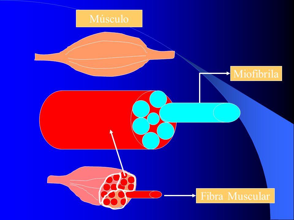 Músculo Miofibrila Fibra Muscular