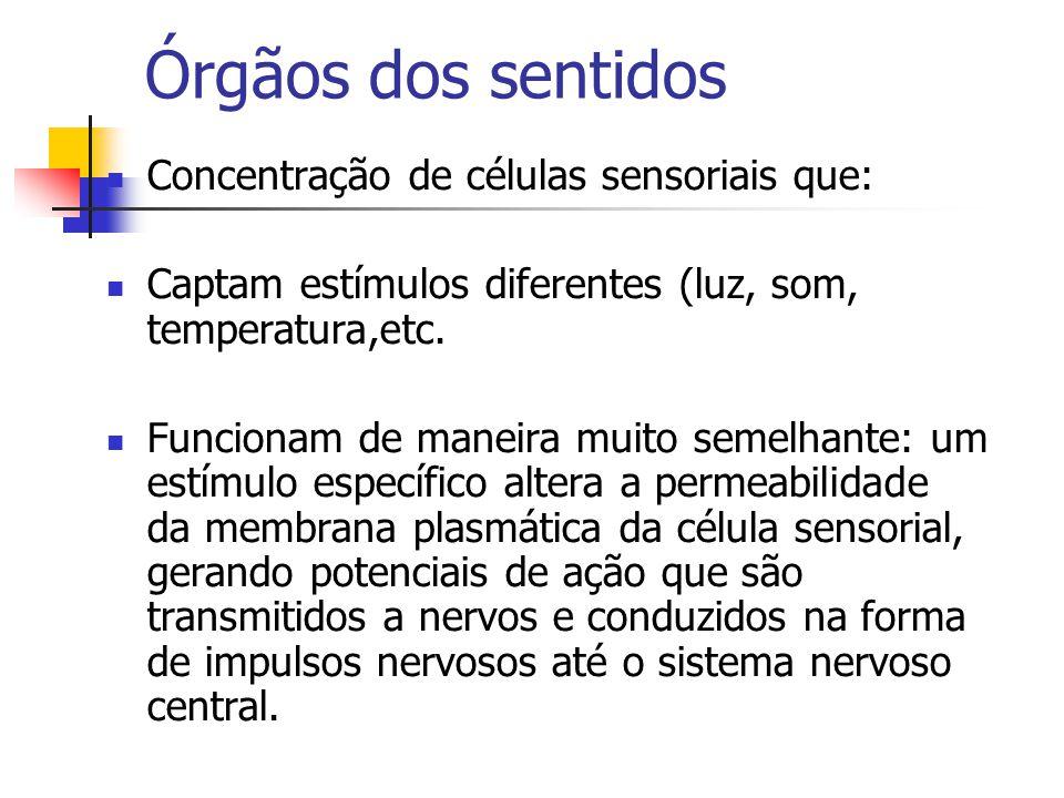 Órgãos dos sentidos Concentração de células sensoriais que: