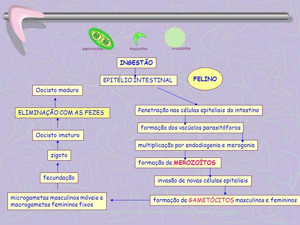 Penetração nas células epiteliais do intestino ELIMINAÇÃO COM AS FEZES
