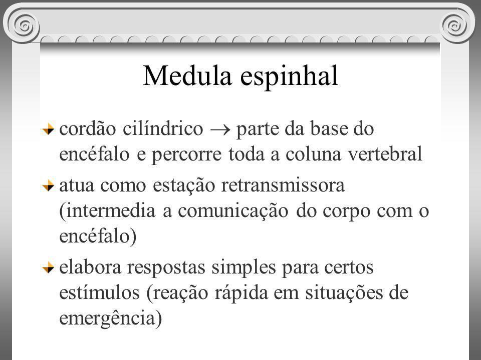 Medula espinhal cordão cilíndrico  parte da base do encéfalo e percorre toda a coluna vertebral.