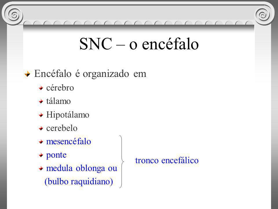 SNC – o encéfalo Encéfalo é organizado em cérebro tálamo Hipotálamo