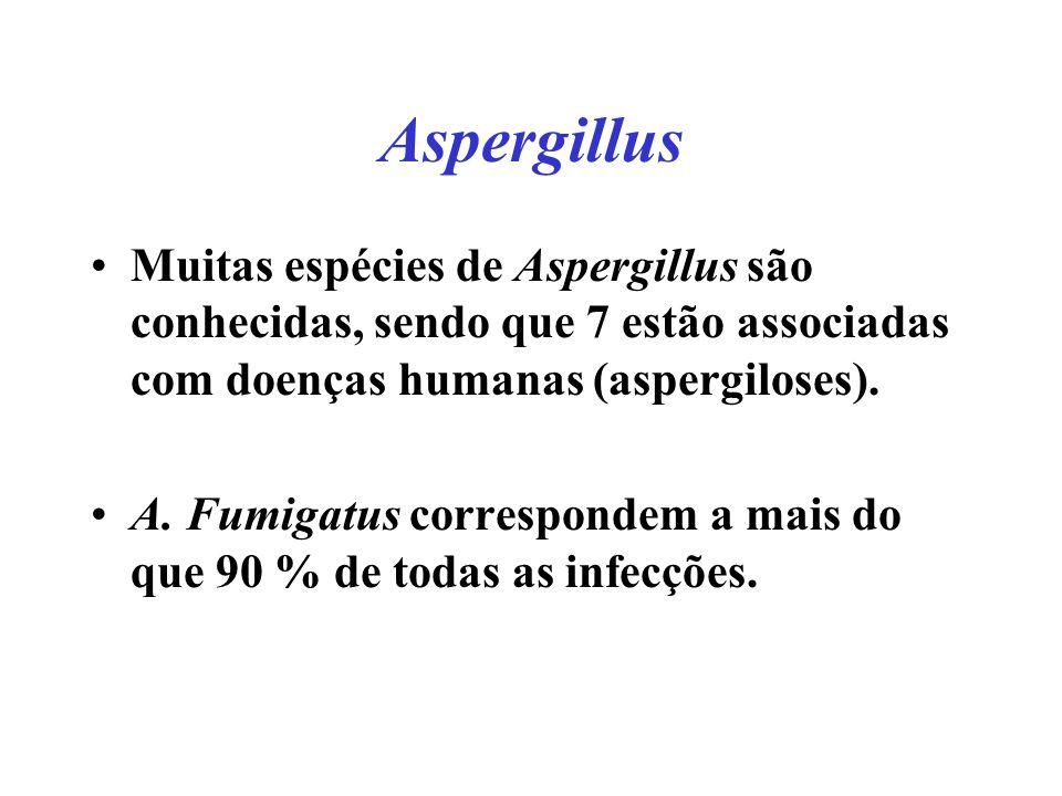 Aspergillus Muitas espécies de Aspergillus são conhecidas, sendo que 7 estão associadas com doenças humanas (aspergiloses).