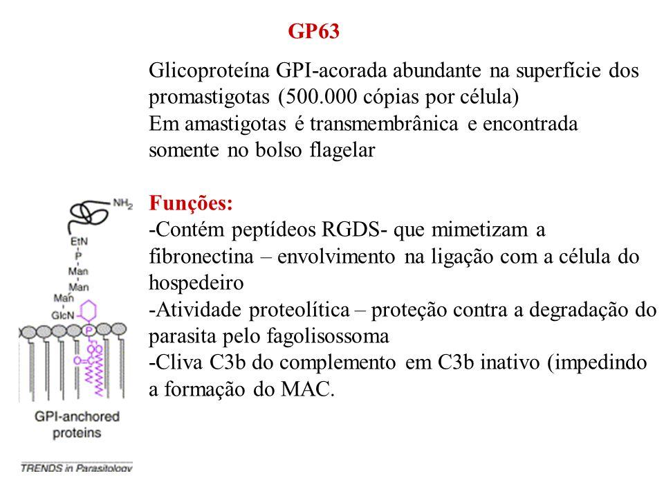 GP63 Glicoproteína GPI-acorada abundante na superfície dos promastigotas (500.000 cópias por célula)