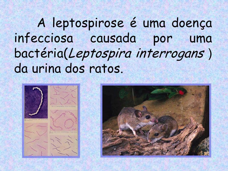 A leptospirose é uma doença infecciosa causada por uma bactéria(Leptospira interrogans ) da urina dos ratos.