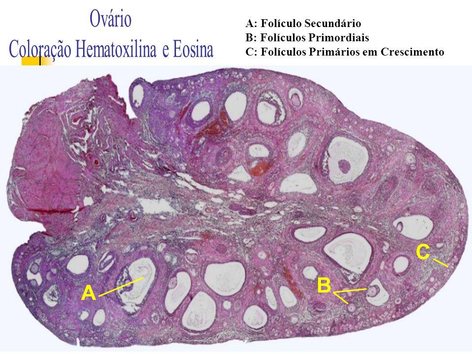 Coloração Hematoxilina e Eosina