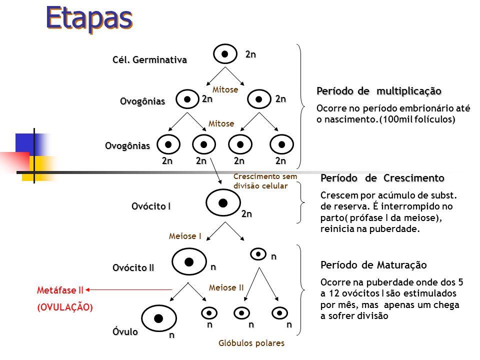 Etapas Período de multiplicação Período de Crescimento