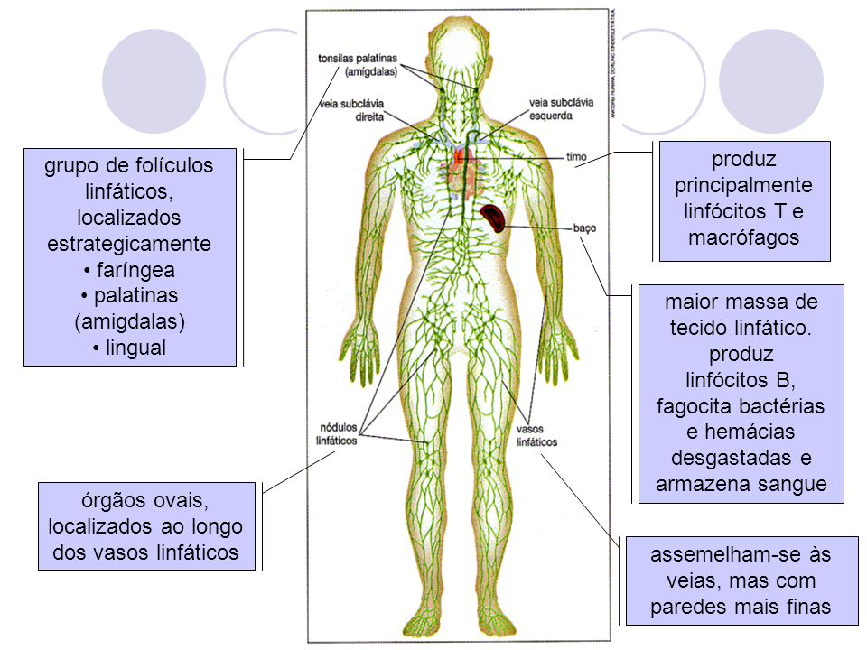 produz principalmente linfócitos T e macrófagos