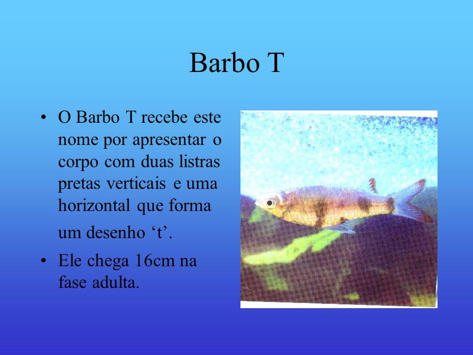 Barbo T O Barbo T recebe este nome por apresentar o corpo com duas listras pretas verticais e uma horizontal que forma um desenho 't'.