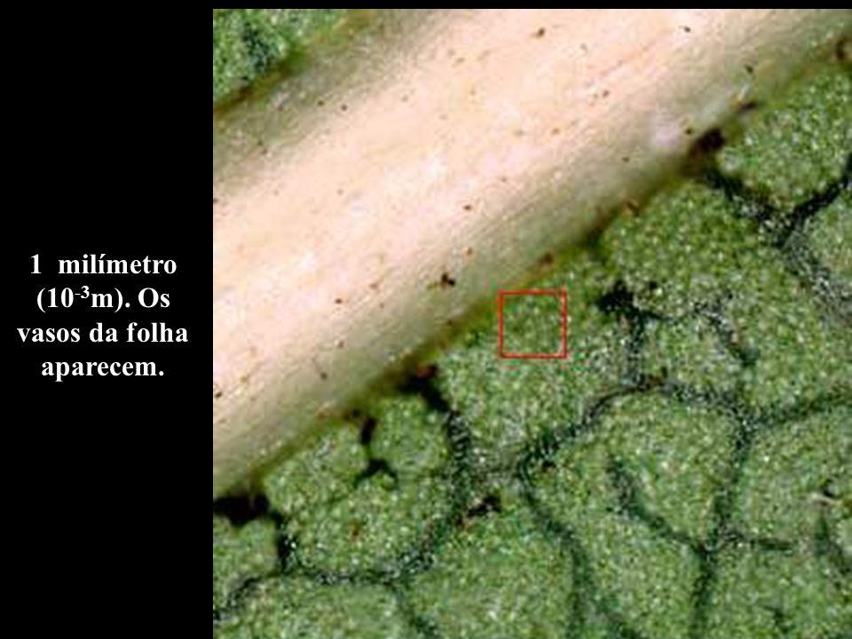 1 milímetro (10-3m). Os vasos da folha aparecem.