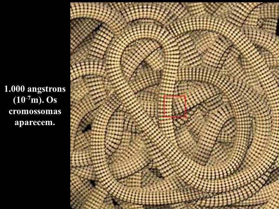 1.000 angstrons (10-7m). Os cromossomas aparecem.