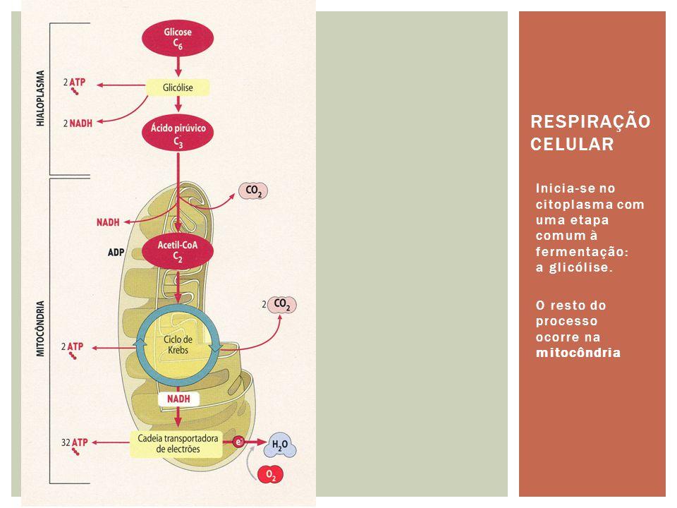 Respiração celular Inicia-se no citoplasma com uma etapa comum à fermentação: a glicólise.