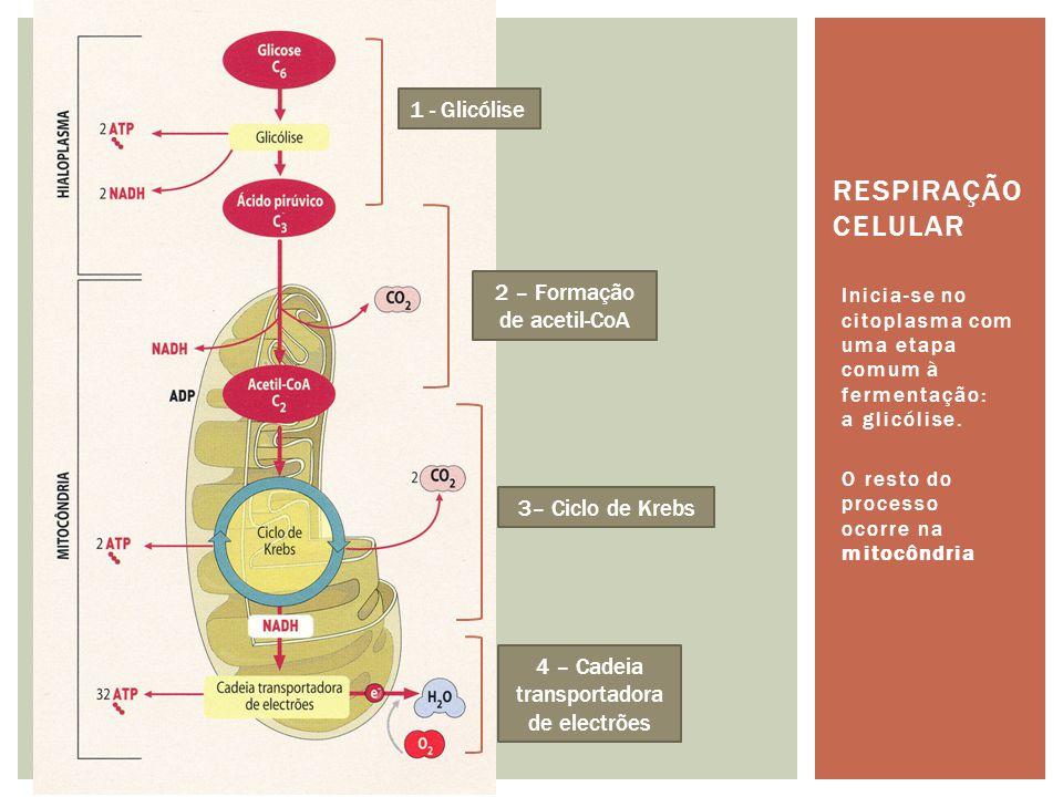 Respiração celular 1 - Glicólise 2 – Formação de acetil-CoA