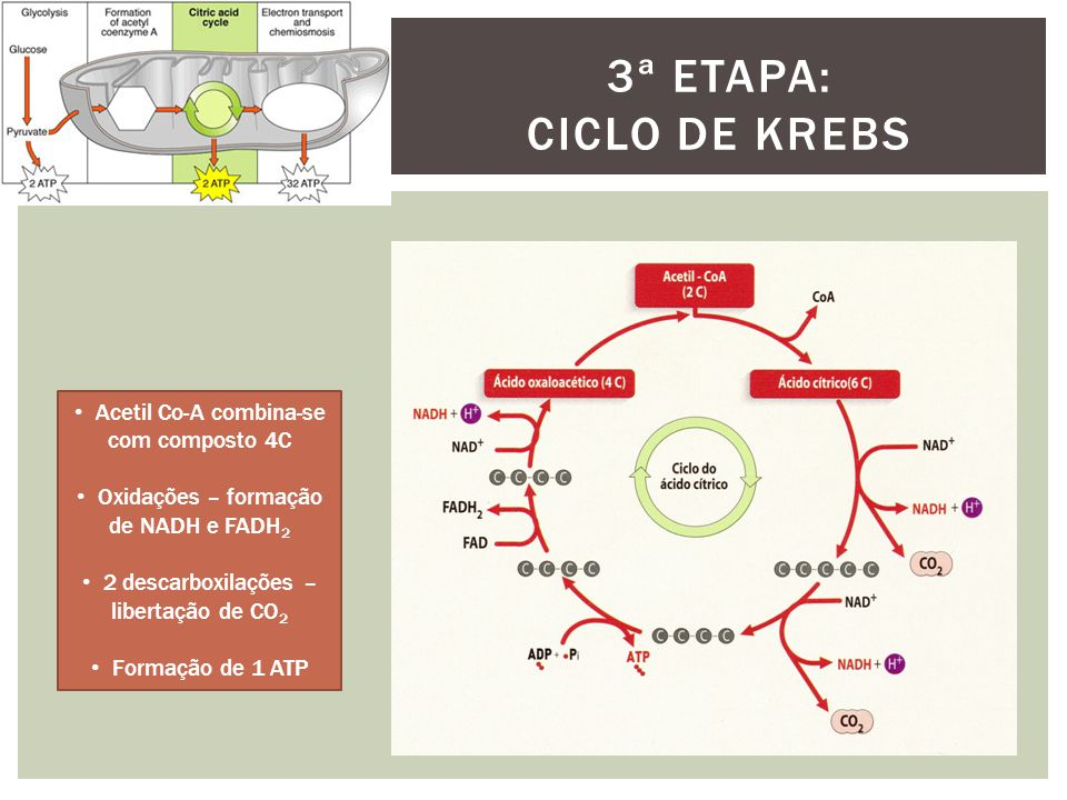 3ª etapa: Ciclo de krebs Acetil Co-A combina-se com composto 4C
