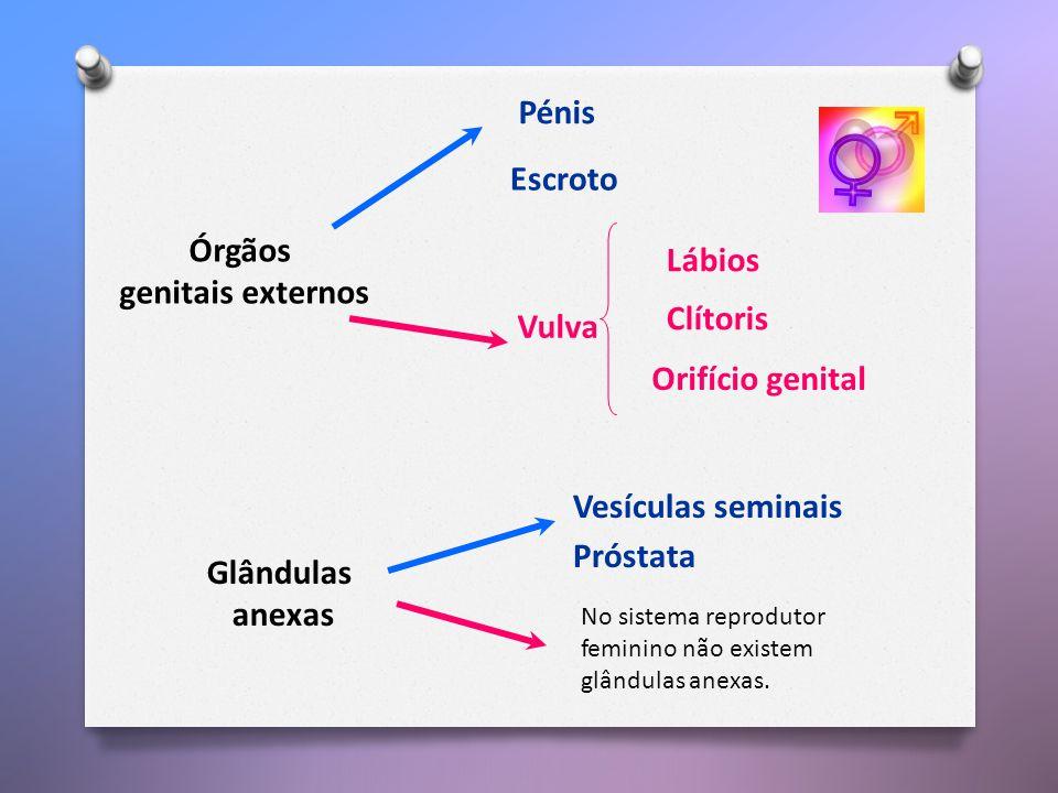 Órgãos genitais externos Glândulas anexas