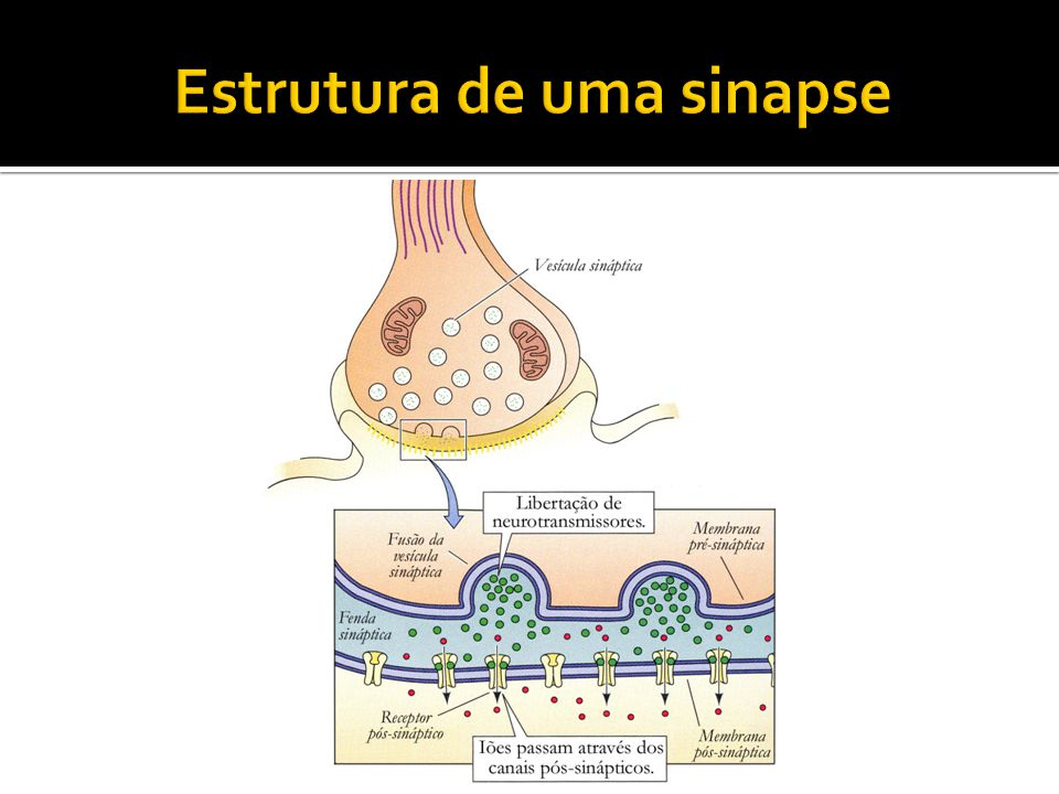 Estrutura de uma sinapse
