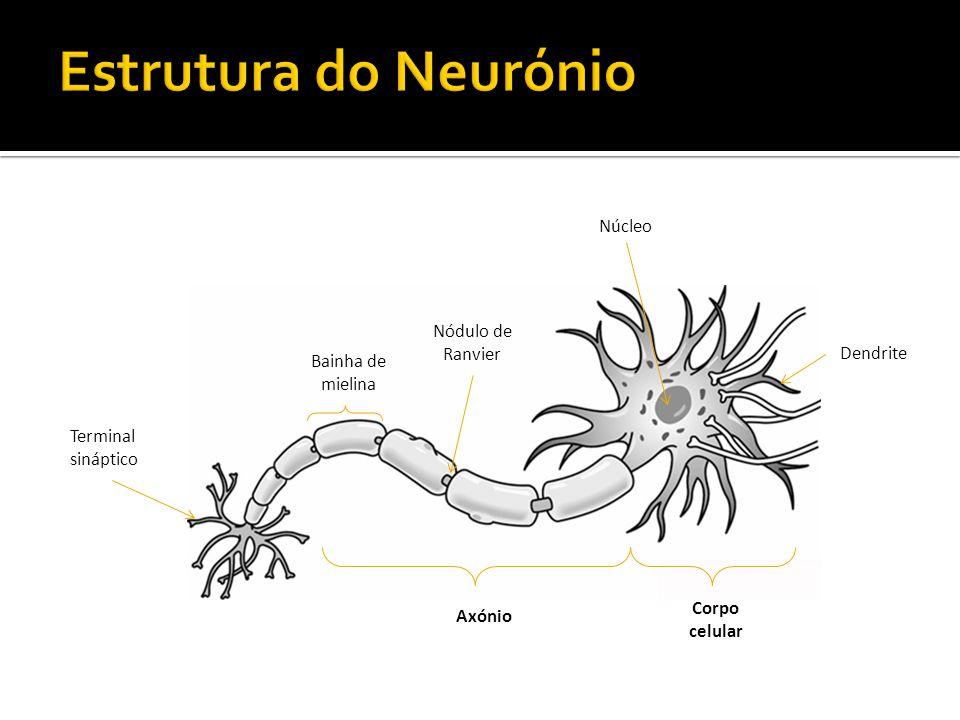 Estrutura do Neurónio Núcleo Nódulo de Ranvier Dendrite