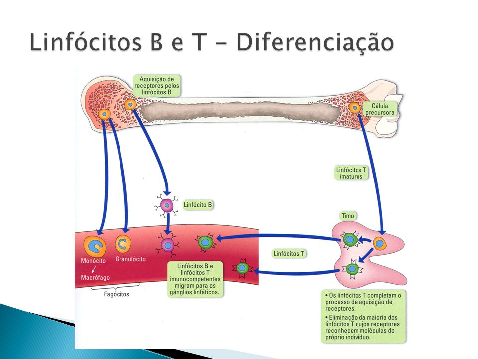 Linfócitos B e T - Diferenciação