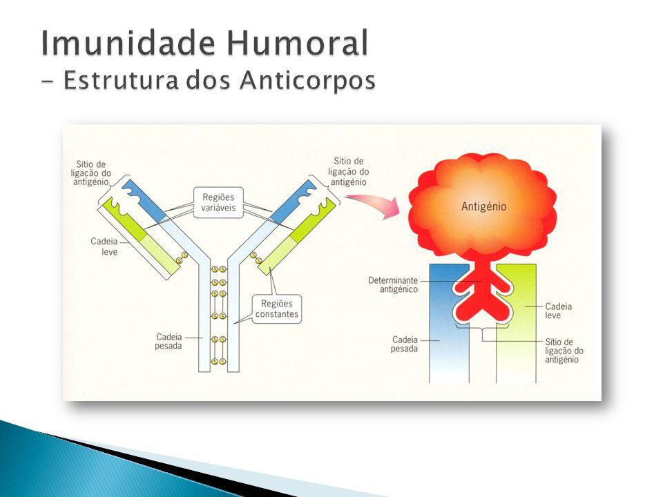 Imunidade Humoral - Estrutura dos Anticorpos