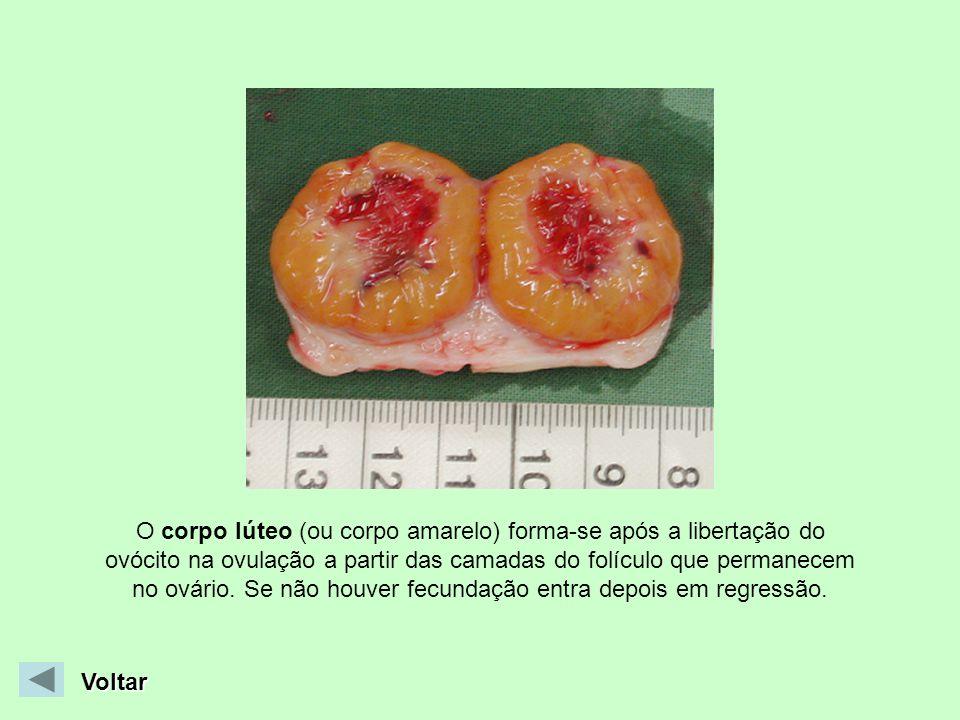 O corpo lúteo (ou corpo amarelo) forma-se após a libertação do ovócito na ovulação a partir das camadas do folículo que permanecem no ovário. Se não houver fecundação entra depois em regressão.