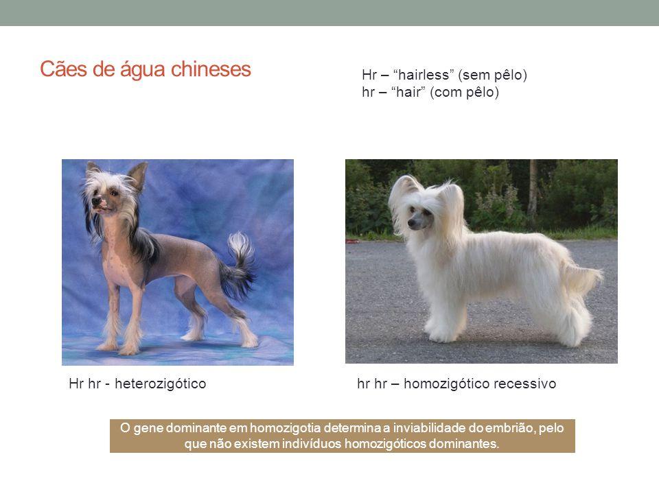 Cães de água chineses Hr – hairless (sem pêlo)